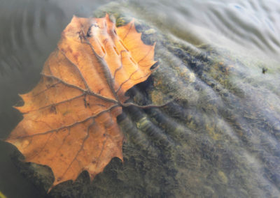 leaf-in-water copy