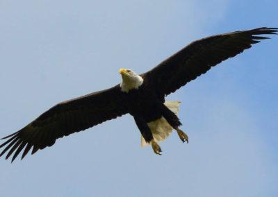 nature-eagle